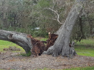 An old cavity gave way on this ancient oak in Sebring.