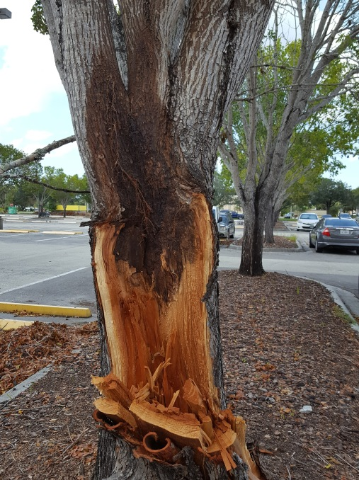 "Mahoganies are prone to ""included bark"" that rots and breaks."