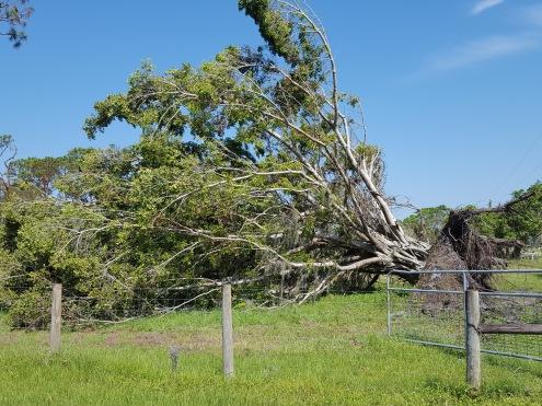 Ficus in Alva.