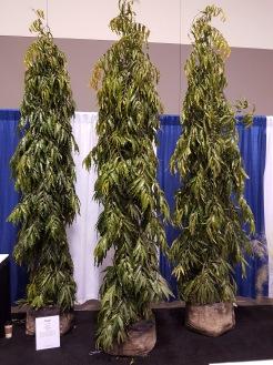Mast Trees