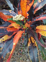 Croton in bloom and seed.
