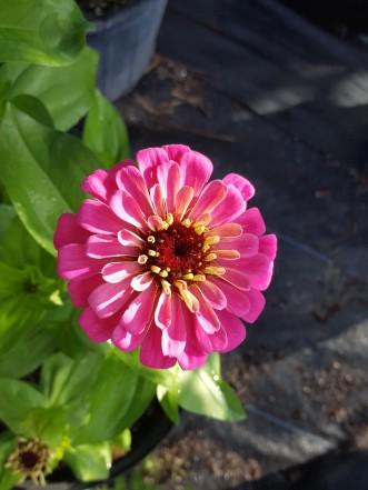 Uproar Rose zinnia.