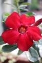 Desert Rose.