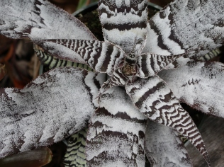Cryptanthus or Earth Star.