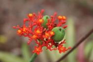 Jatropha flower and seeds.