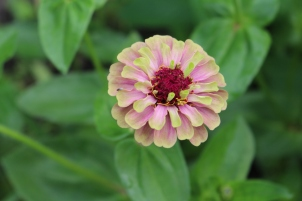 Queen Lime Zinnia.
