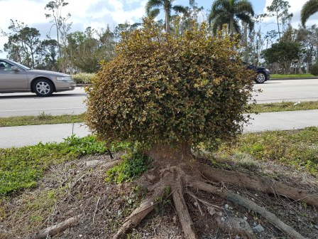 This was a Black Olive tree, now a Chia pet.