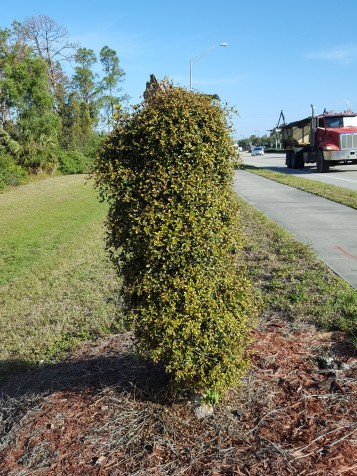 This Black Olive's sprouts are as thick as the hair on a dog's back. No longer a tree, how about a pillar topiary?