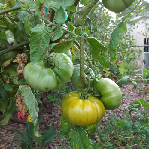 'Marvel Stripe' tomato in 15 gallon pot.