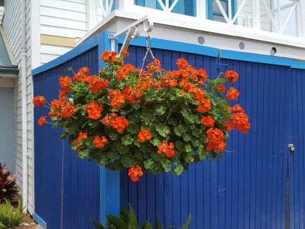 Strong contrast immediately draws your eyes to this geranium basket.
