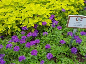 Brilliant use of complimentary colors. Yellow coleus backing Verbena 'Empress Sun Violet'.