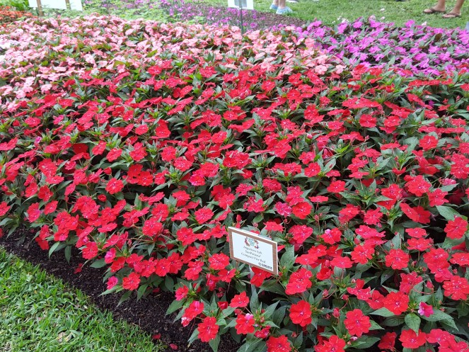 'SunPatiens' showing vigorous landscape performance.