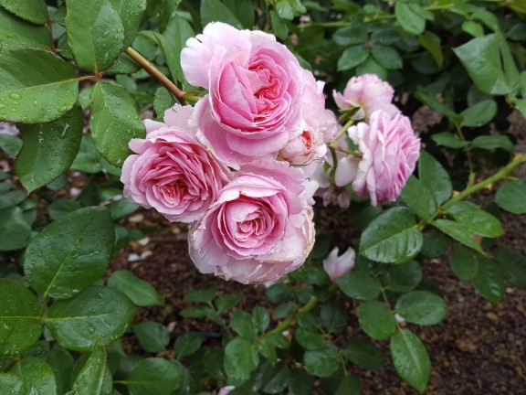 The rose garden was in top shape: 'Summer Romance' floribunda.
