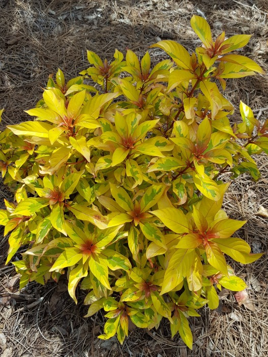 New to me: Fire bush 'Lime Sizzler'.