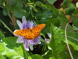 Nothing new here but the pollinator garden at Leu Gardens. Passion flower with Gulf Fritillary butterfly.