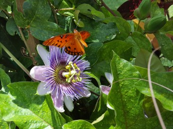 Gulf Fritillary feeding on a Passion Vine flower.