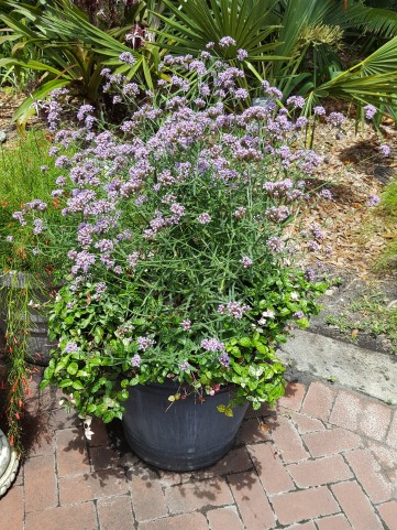 Purple Verbena bonariensis near the pollinator garden.