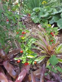 Fruit of the dwarf Acerola.