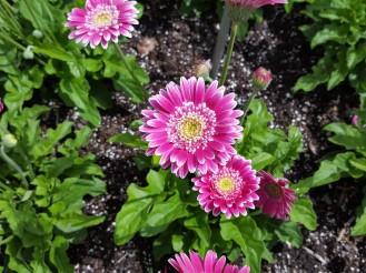 Gerbera daisy 'Garvinea Sweet Fiesta'.