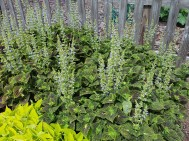 Coleus 'Main Street' is mostly a foliage plant but these flowers compliment the rustic fence.
