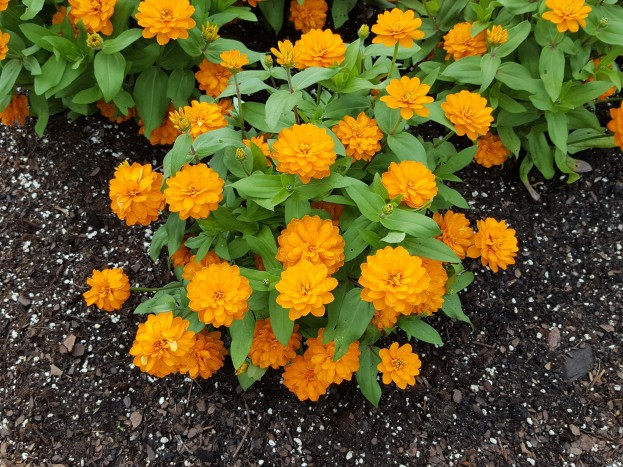 Dwarf, double Zinnia 'Zahara Bright Orange'.