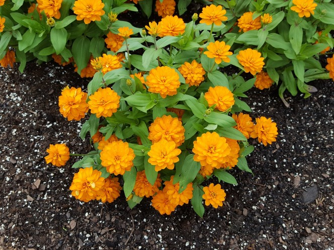 Dwarf, double Zinnia 'Zahara Bright Orange'.