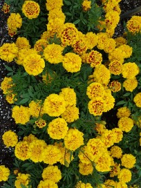 Marigold 'Super Hero Yellow Bee'.