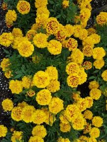 Marigold 'Super Hero Yellow Bee'.