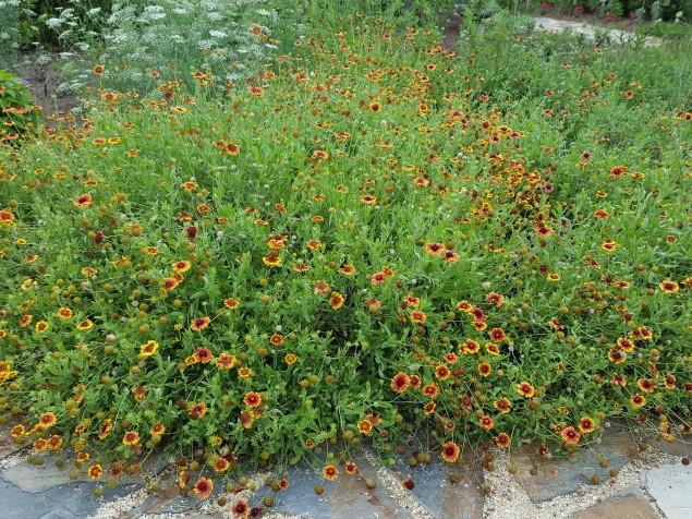 Blanket flower, Gaillardia.