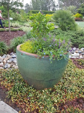 Big, bold pot surrounded by tricolor Asian Jasmine 'Sunset'.