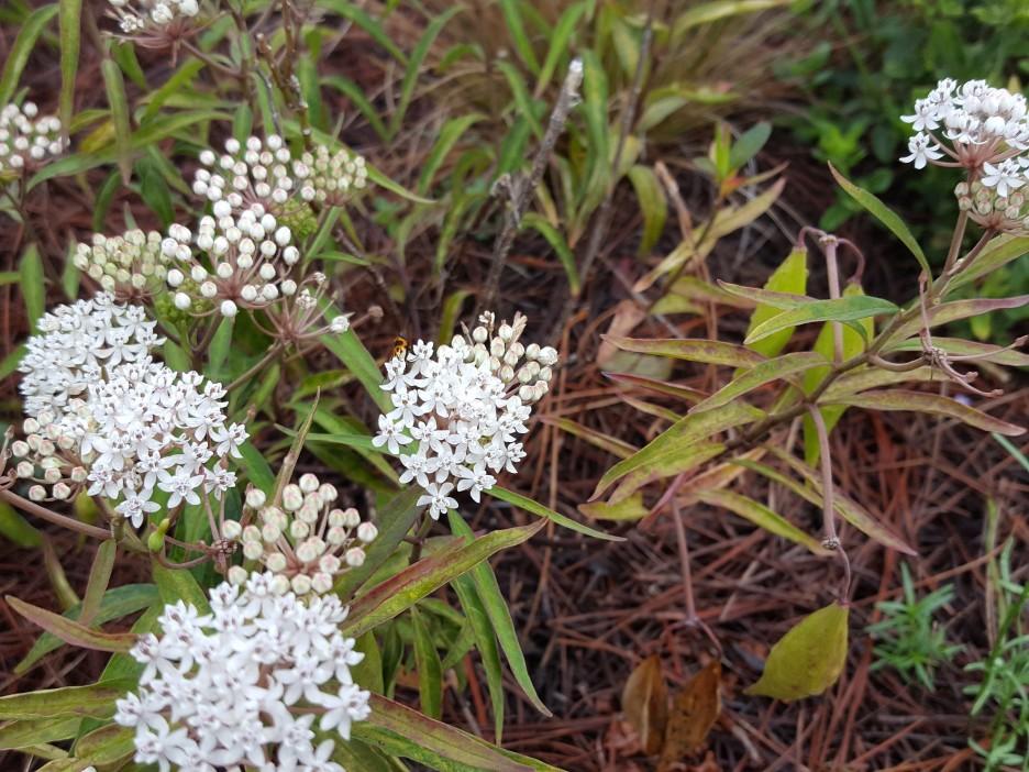 White Milkweed, Asclepias perennis.