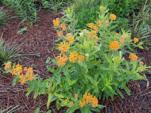 Florida native Butterfly Weed, Asclepias.