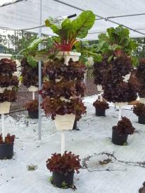 Maximum vegetables, minimum space. Swiss chard and leaf lettuce tower.