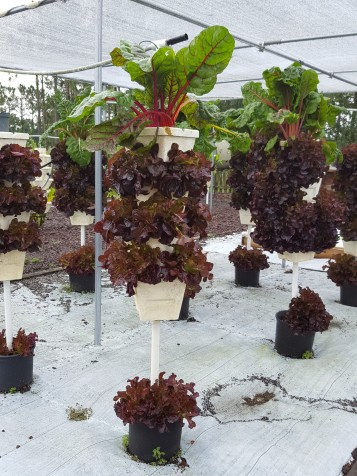 Maximum vegetables, minimum space. Swiss chard and leaf lettuce tower.