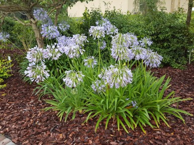 Agapanthus, Blue Lily of the Nile. Right on time for a summer bloomer.