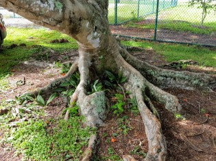 These buttressed roots spread wide to support a tree that can often spread more than 50 feet wide.