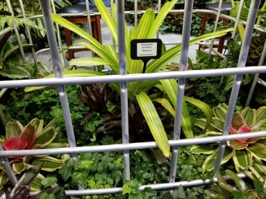 'America' aechmea bromeliad with other variegated neoreglias.